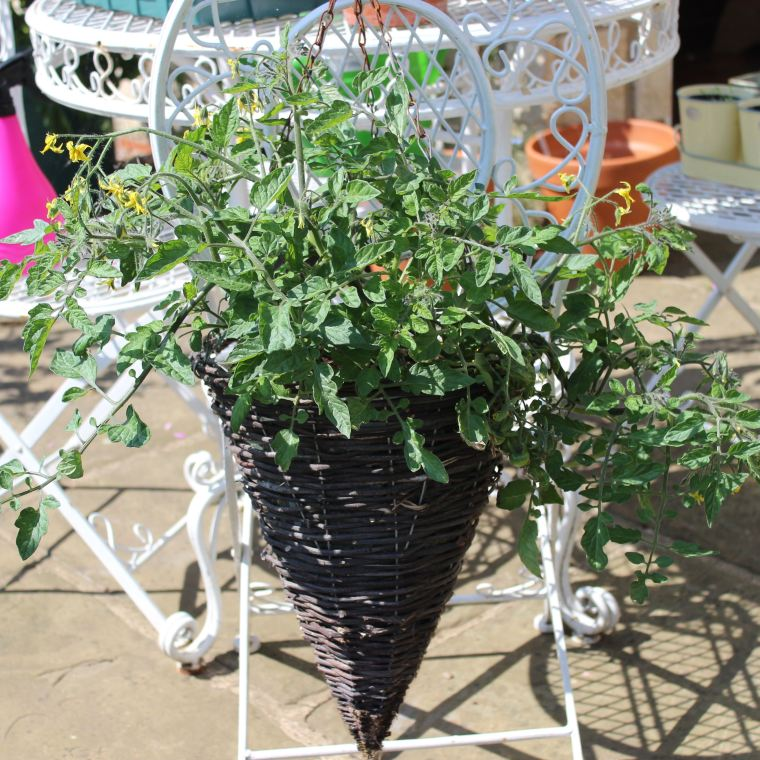Cherry tomatoes just starting to flower in a hanging basket