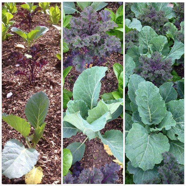 Cabbage and kale planted close together in a raised bed